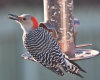 All About Woodpeckers  in Walkertown April 11