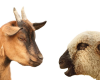 Training to be Offered to Goat and Sheep Producers
