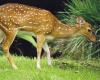 Tuesdays at Tanglewood: White-tailed Deer