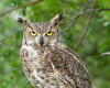 Tuesdays at Tanglewood: Who Lives Here? Owls