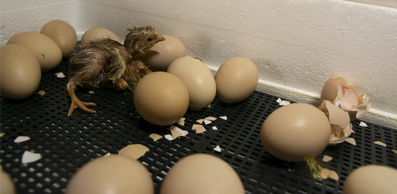 Basics of Incubating Poultry
